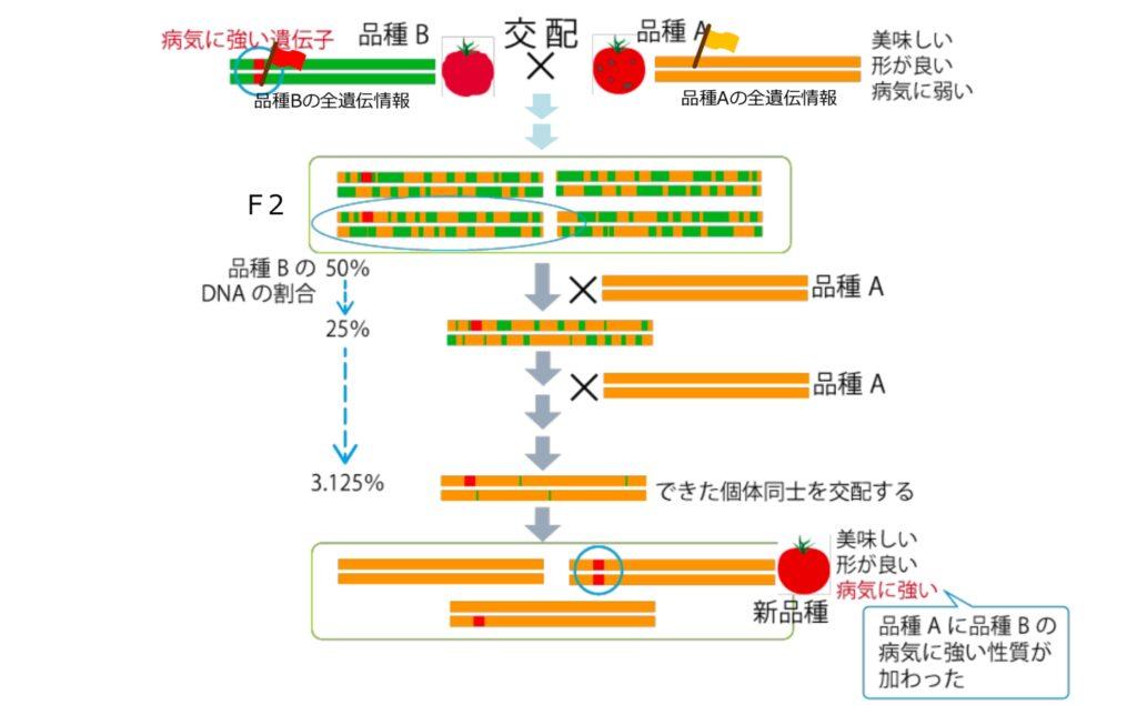 他品種の遺伝子を組み込む方法