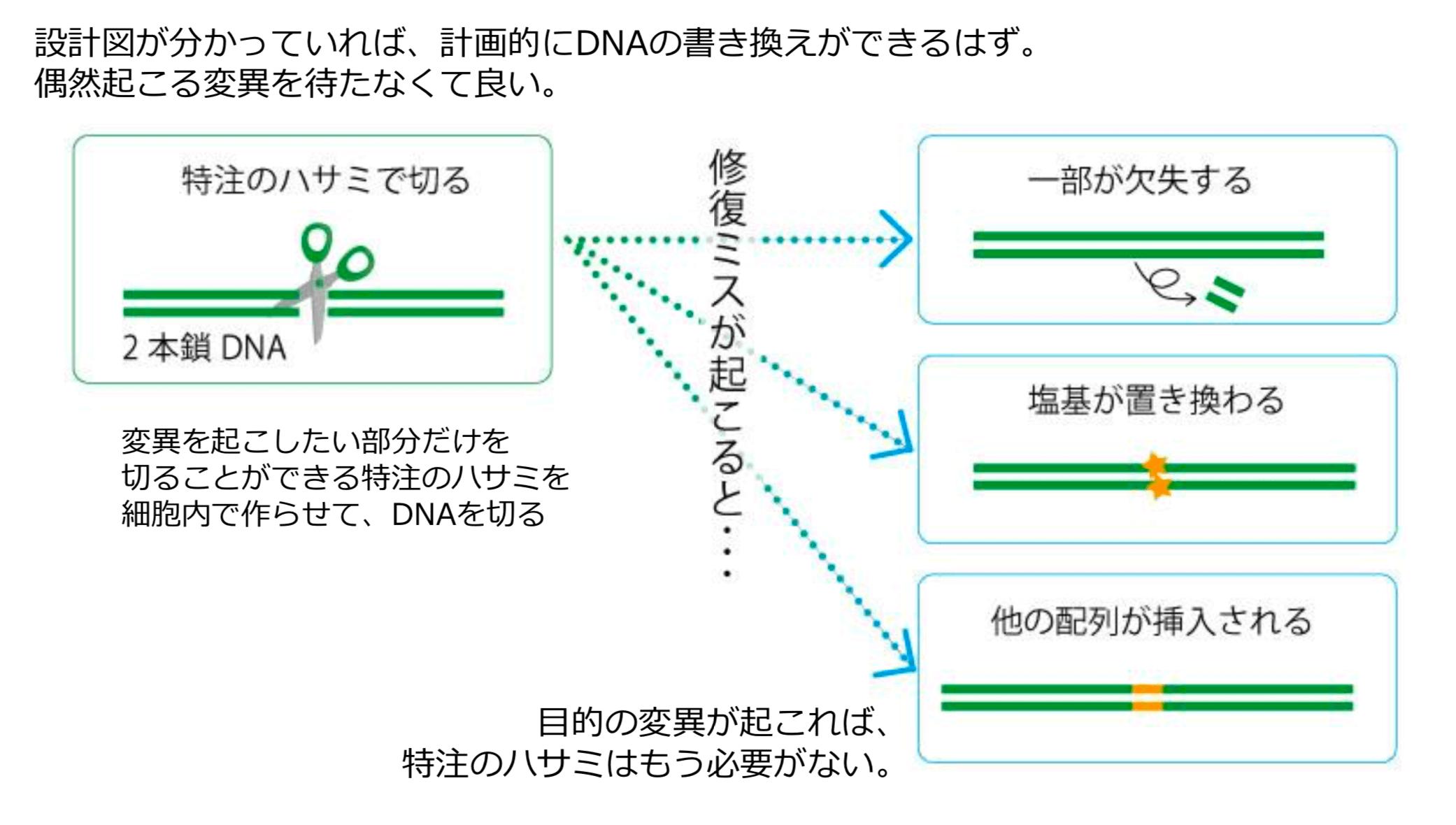 """""""偶然""""を計画的に起こさせるゲノム編集技術"""